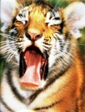 TigerYawn07 II